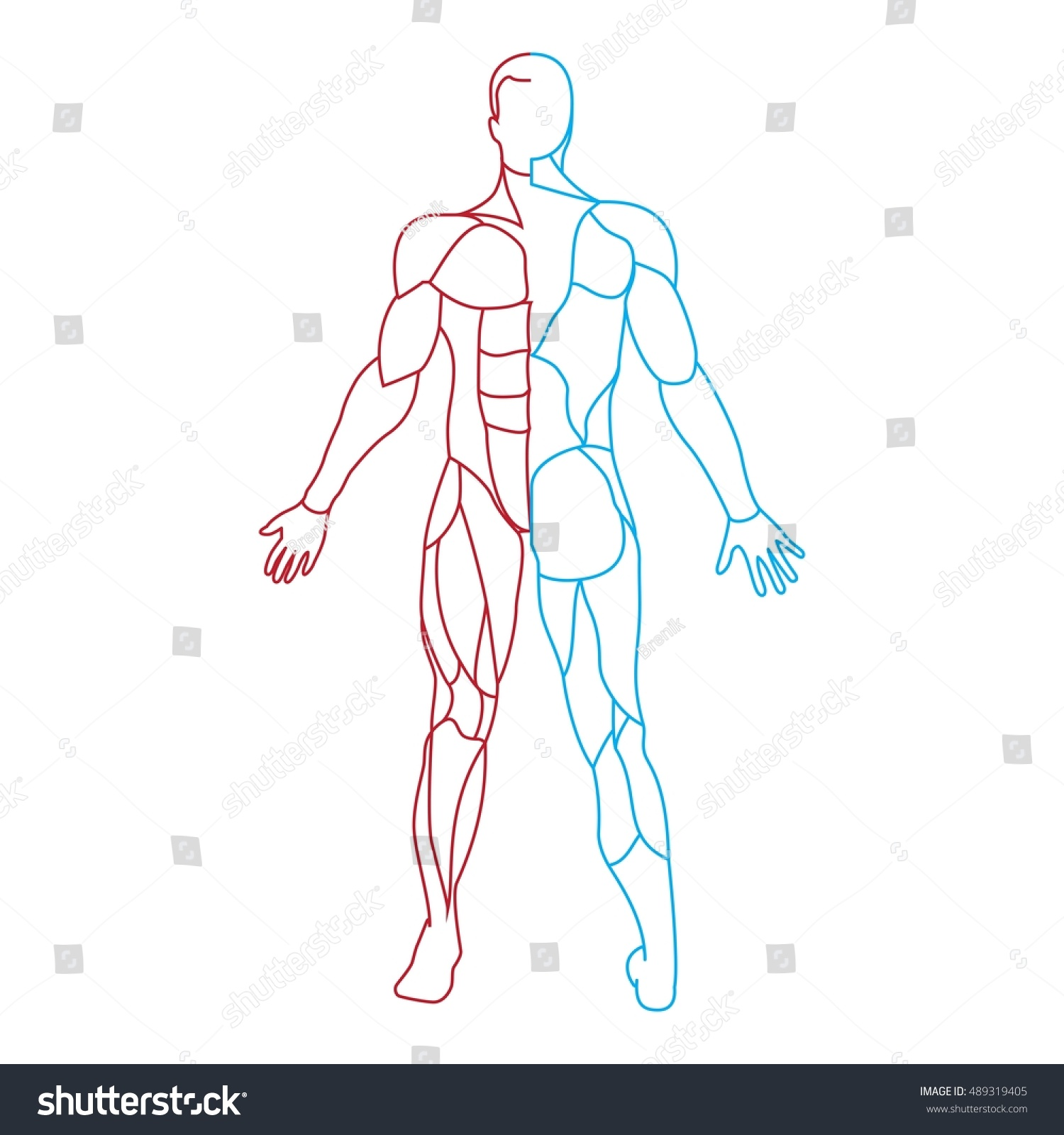 Anatomy Male Muscular System Human Muscles Stock Vector Royalty