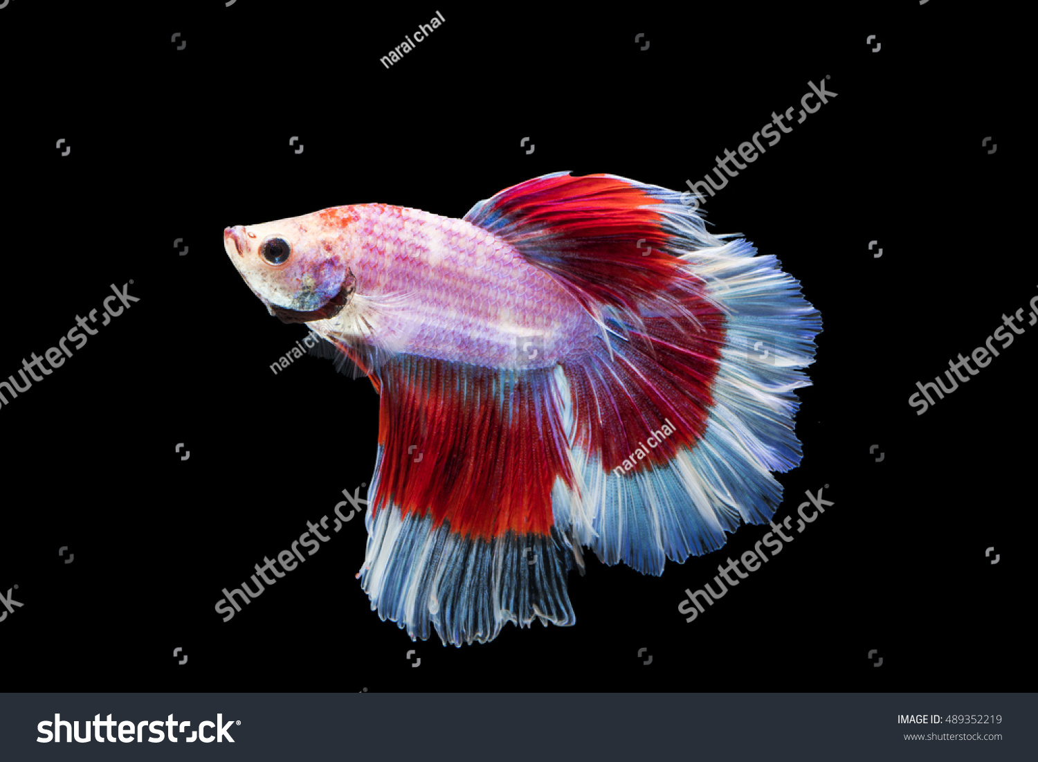 Colorful Siamese Fighting Fish On Black Stock Photo 489352219 ...