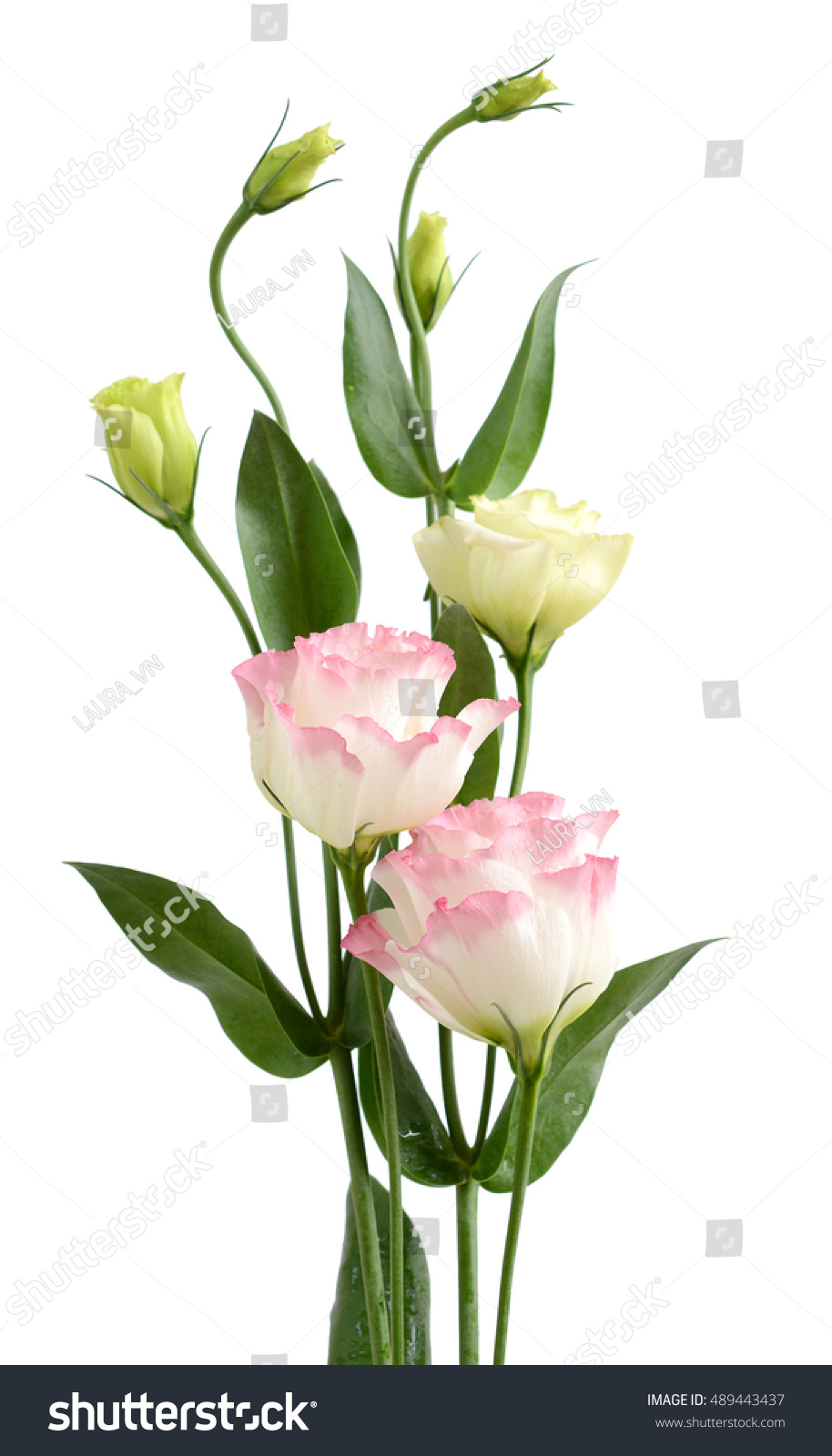 Beautiful Pink Lisianthus Flower Bouquet Isolated Stock Photo Edit