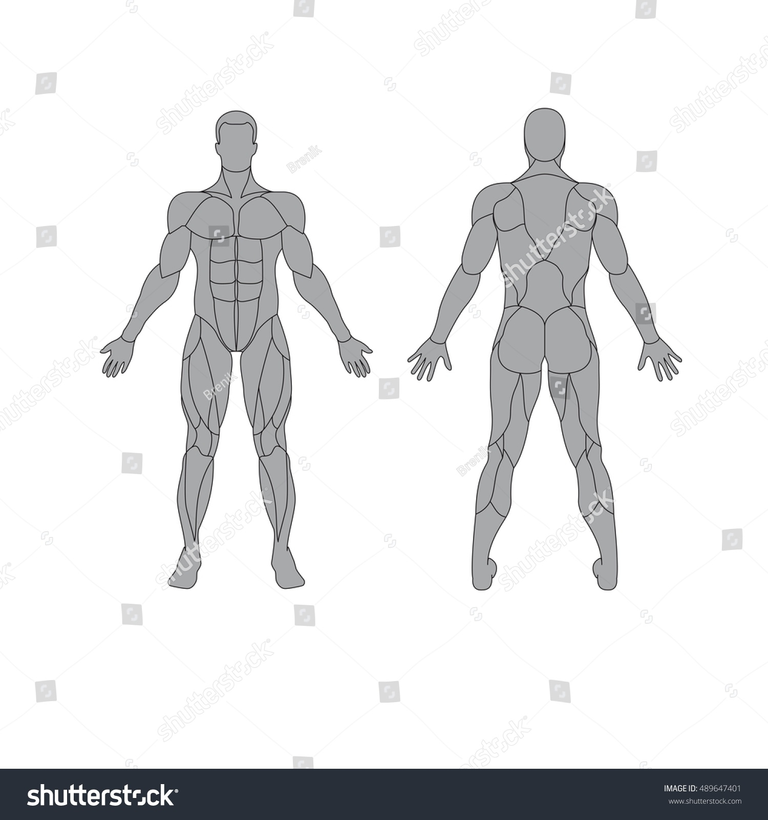 Anatomy Male Muscular System On White Stock Vector Royalty Free