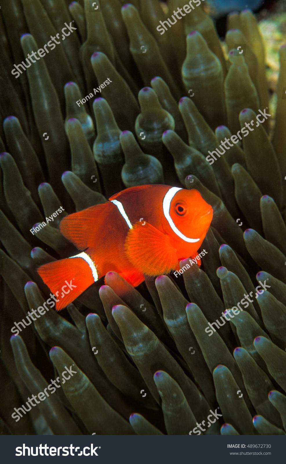 Bright Orange Clown Fish Clear White Stock Photo (100% Legal ...