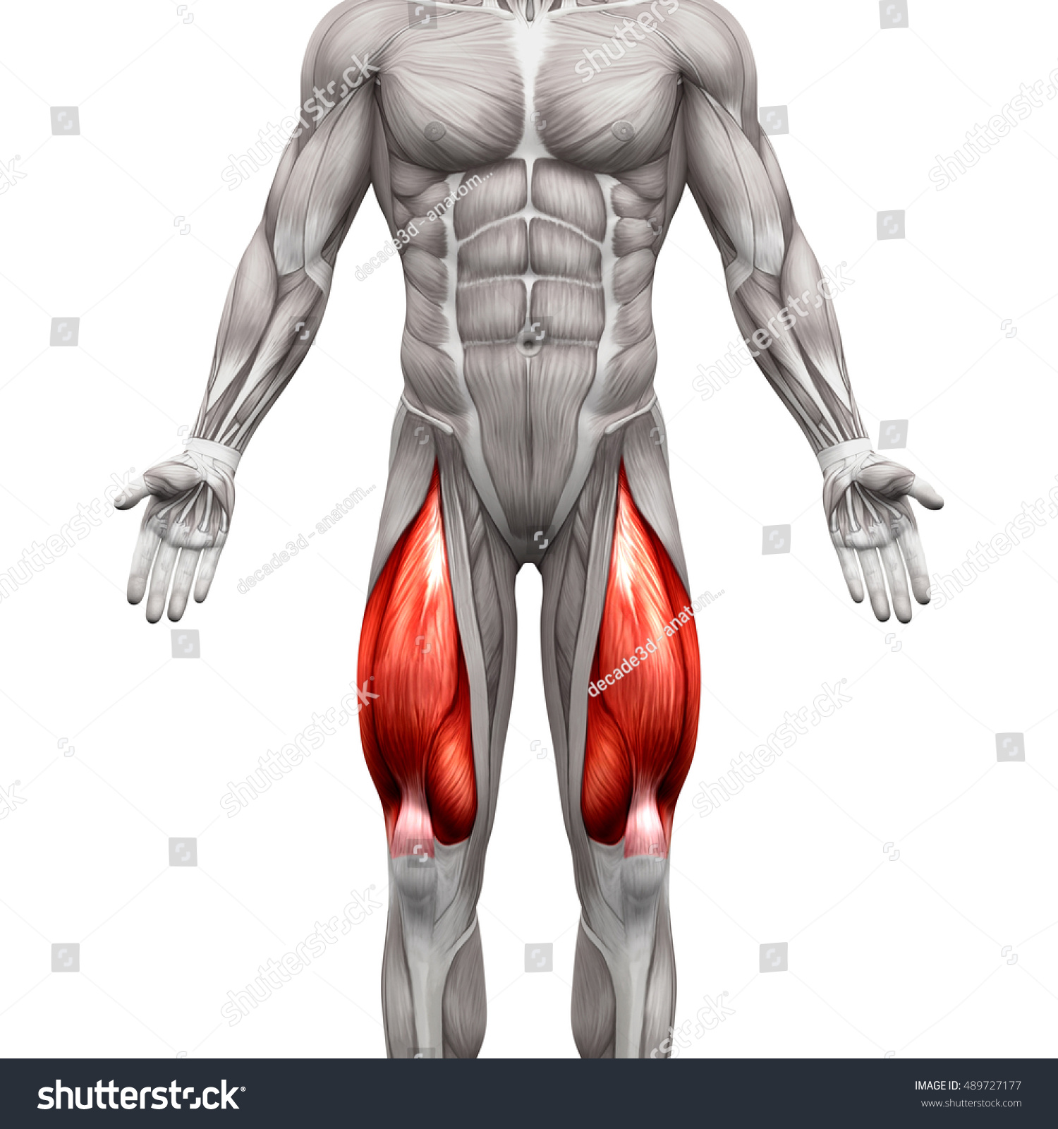 Quadriceps Male Muscles Anatomy Muscle Isolated Stock Illustration ...