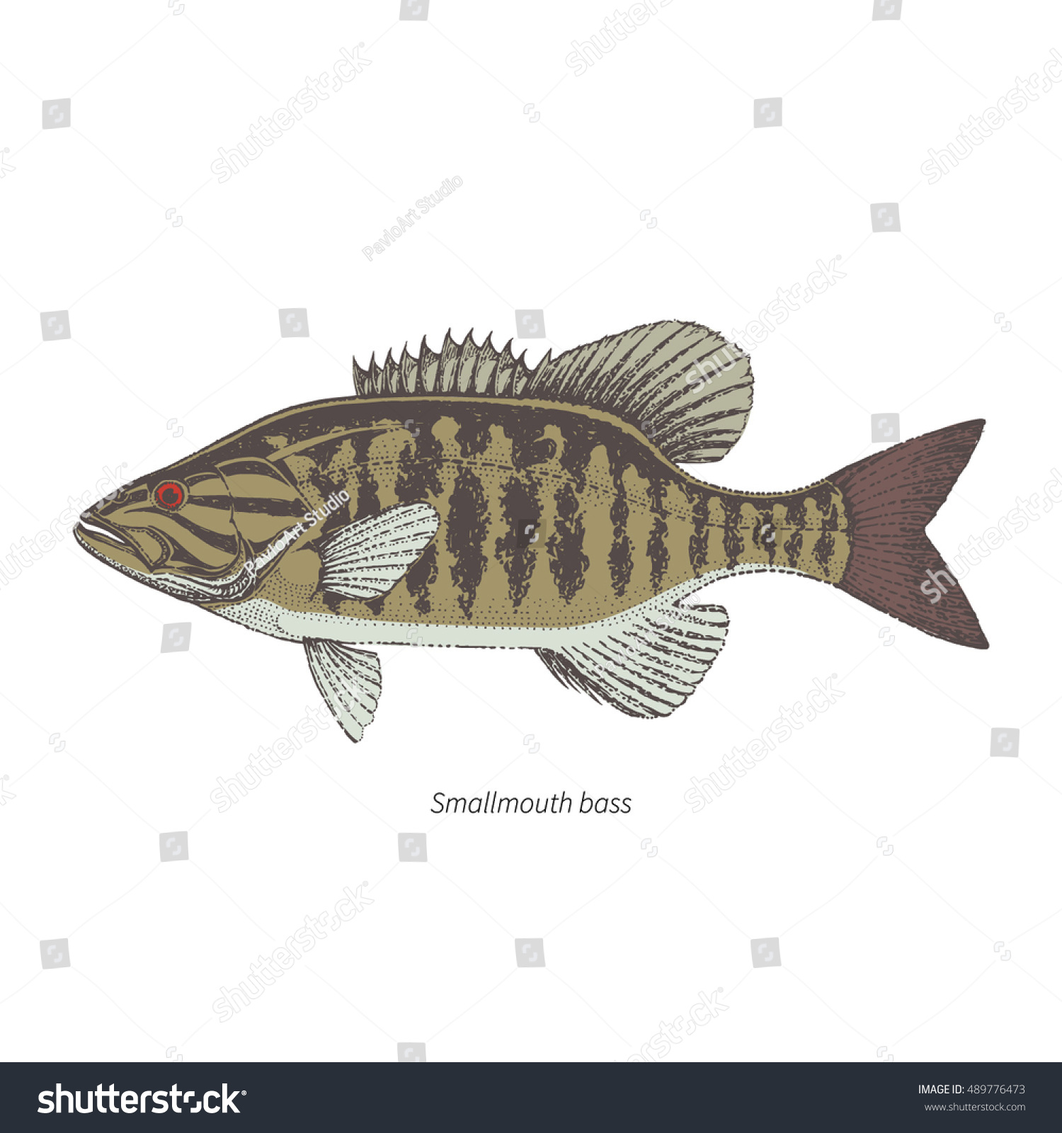 Smallmouth Bass Hand Drawn Outline Color Vintage Vector Illustration Isolated On White Background