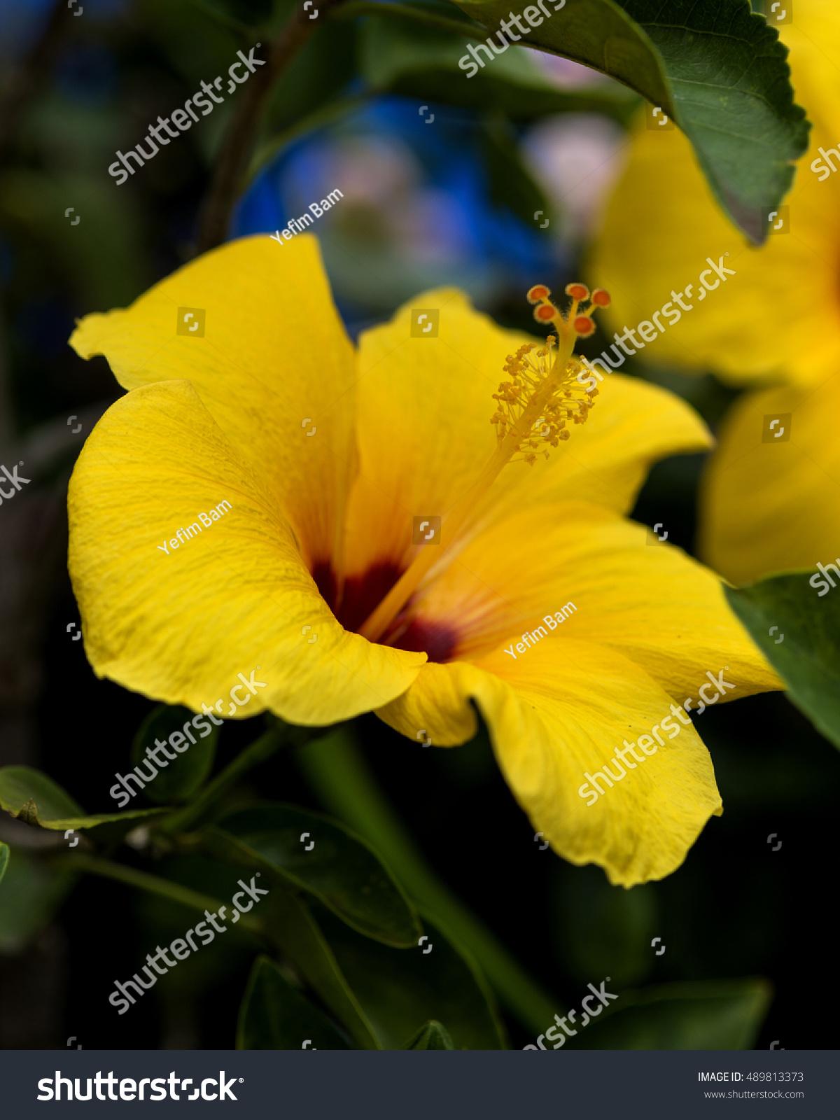 Yellow hibiscus state flower hawaii hawaiian stock photo edit now yellow hibiscus state flower of hawaii hawaiian hibiscus is the 7 known species of hibiscus izmirmasajfo