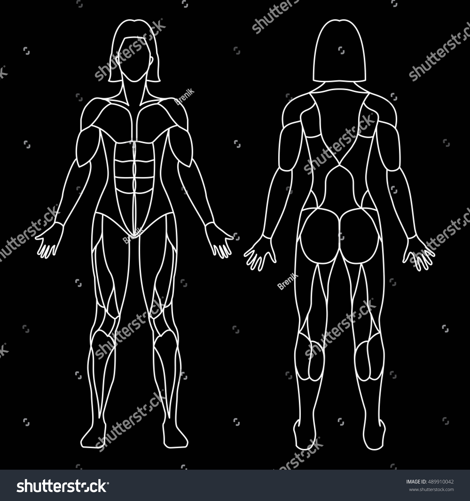 Royalty Free Anatomy Of Female Muscular System On A 489910042