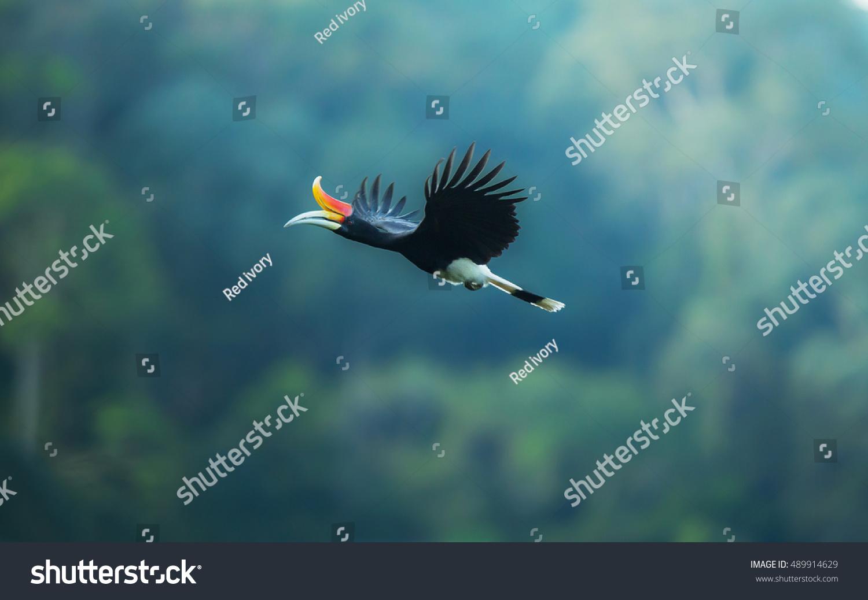Rhinoceros Hornbill Female Male Flying Naturehalabalathailand Stock Photo Edit Now 489914629
