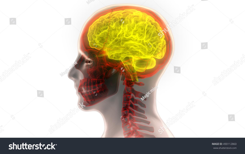 Human Brain Anatomy 3 D Stock Illustration 490112860 - Shutterstock