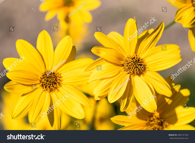 Topinambur Yellow Flowers Jerusalem Artichoke Plants Stock Photo