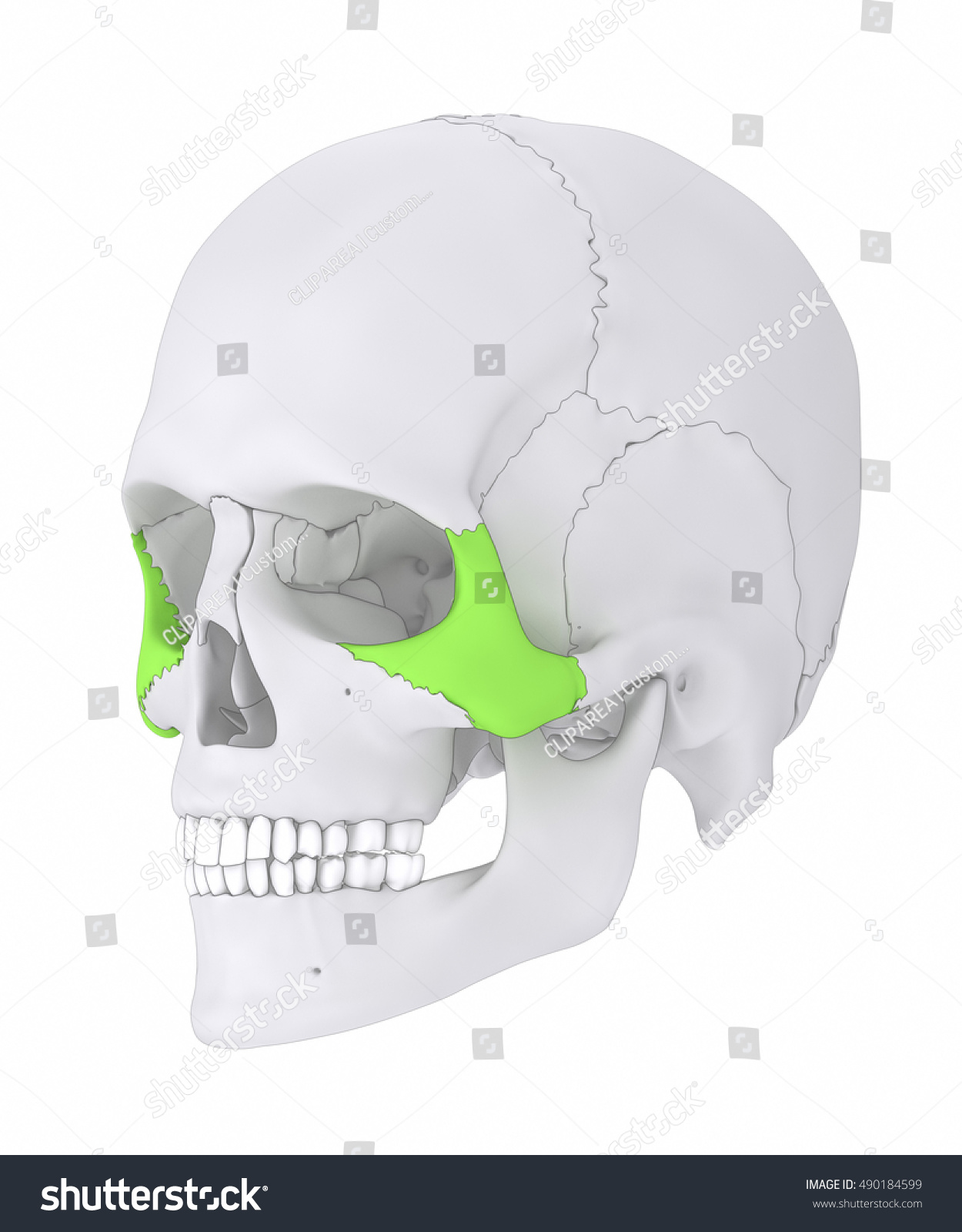 Zygomatic Bone Os Zygomaticum Stock Illustration 490184599 ...