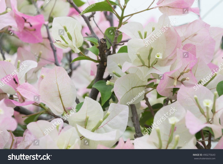 Bougainvillea Paper Flower Background Ez Canvas