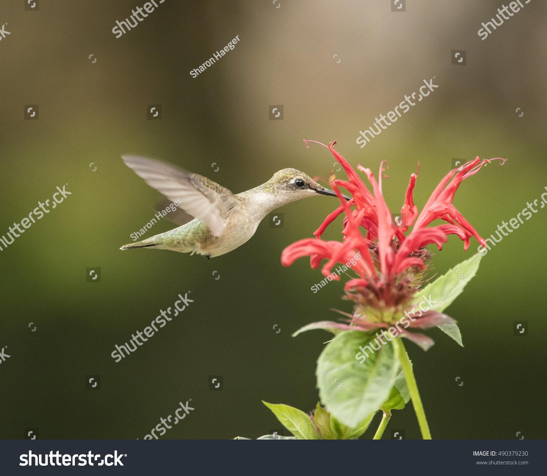 Bee hummingbird flying - photo#24