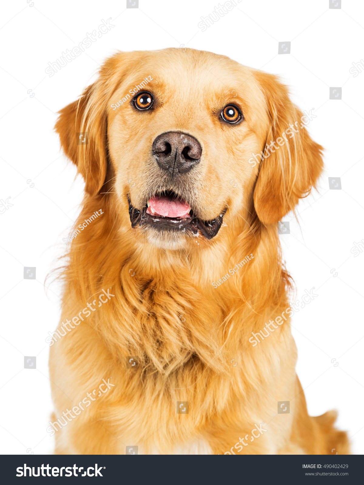 Closeup portrait of a happy and smiling Golden Retriever dog over white #490402429