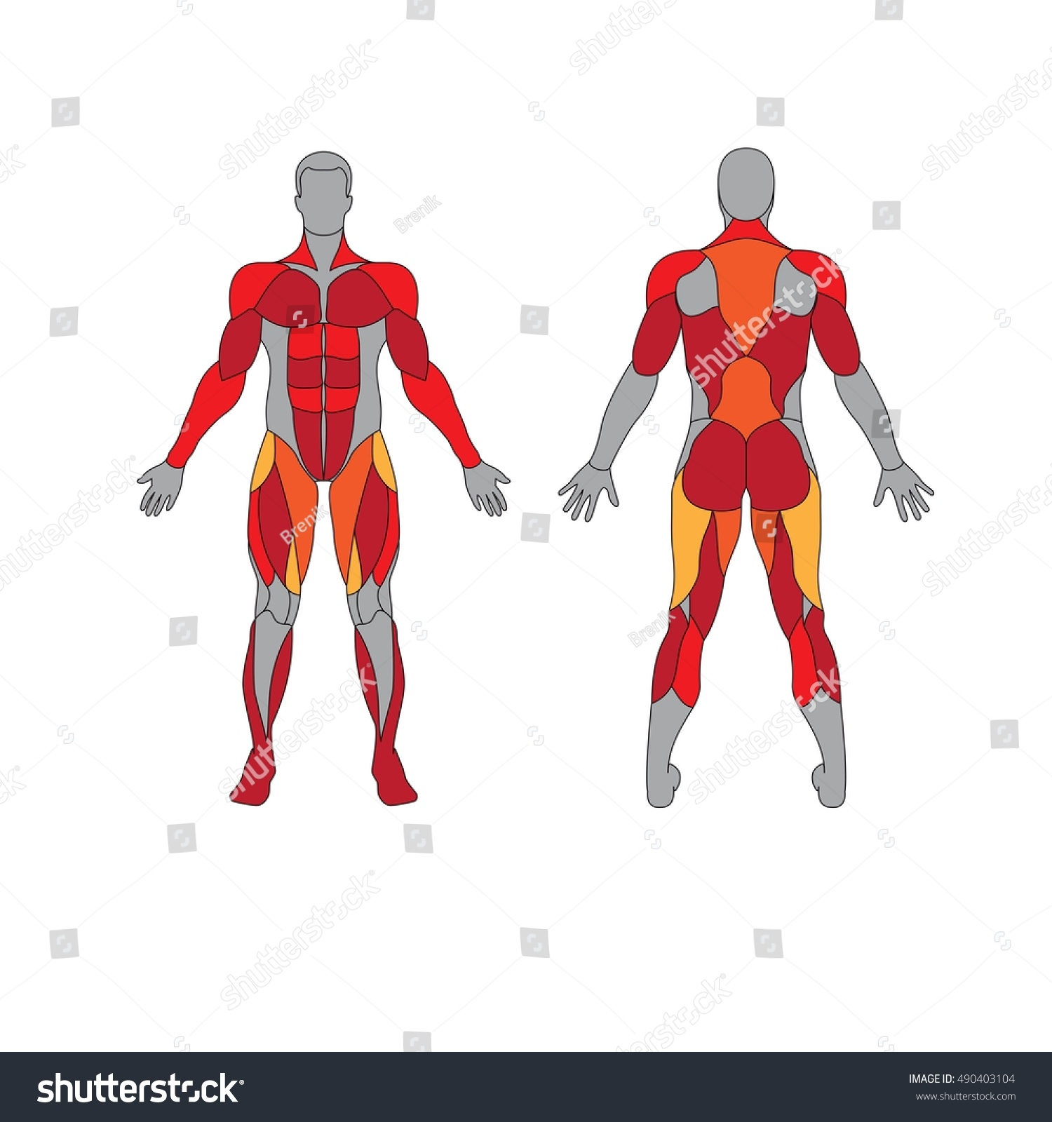 anatomy male muscular system on white stock vector 490403104, Muscles