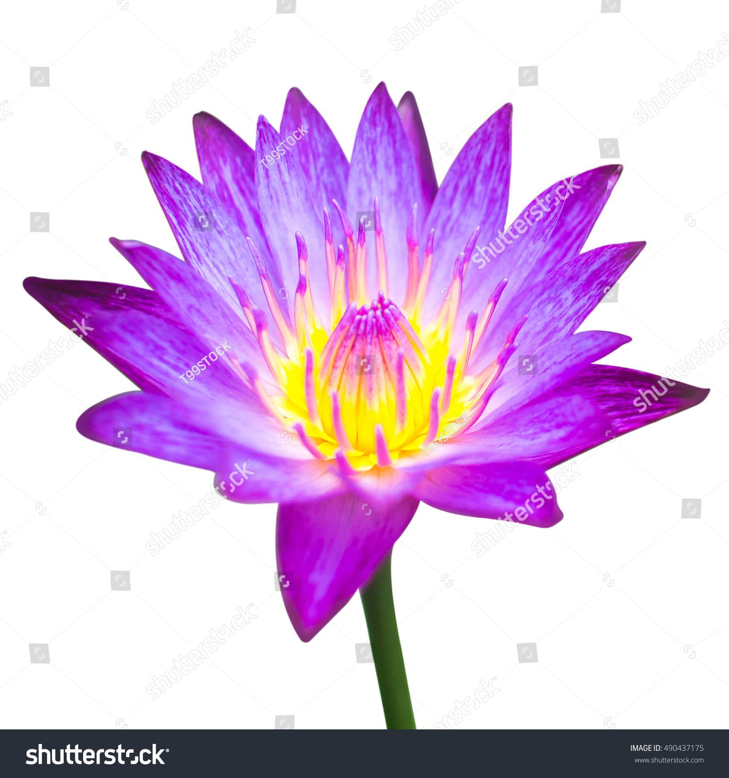 Lotus flower white background stock photo edit now 490437175 lotus flower white background izmirmasajfo