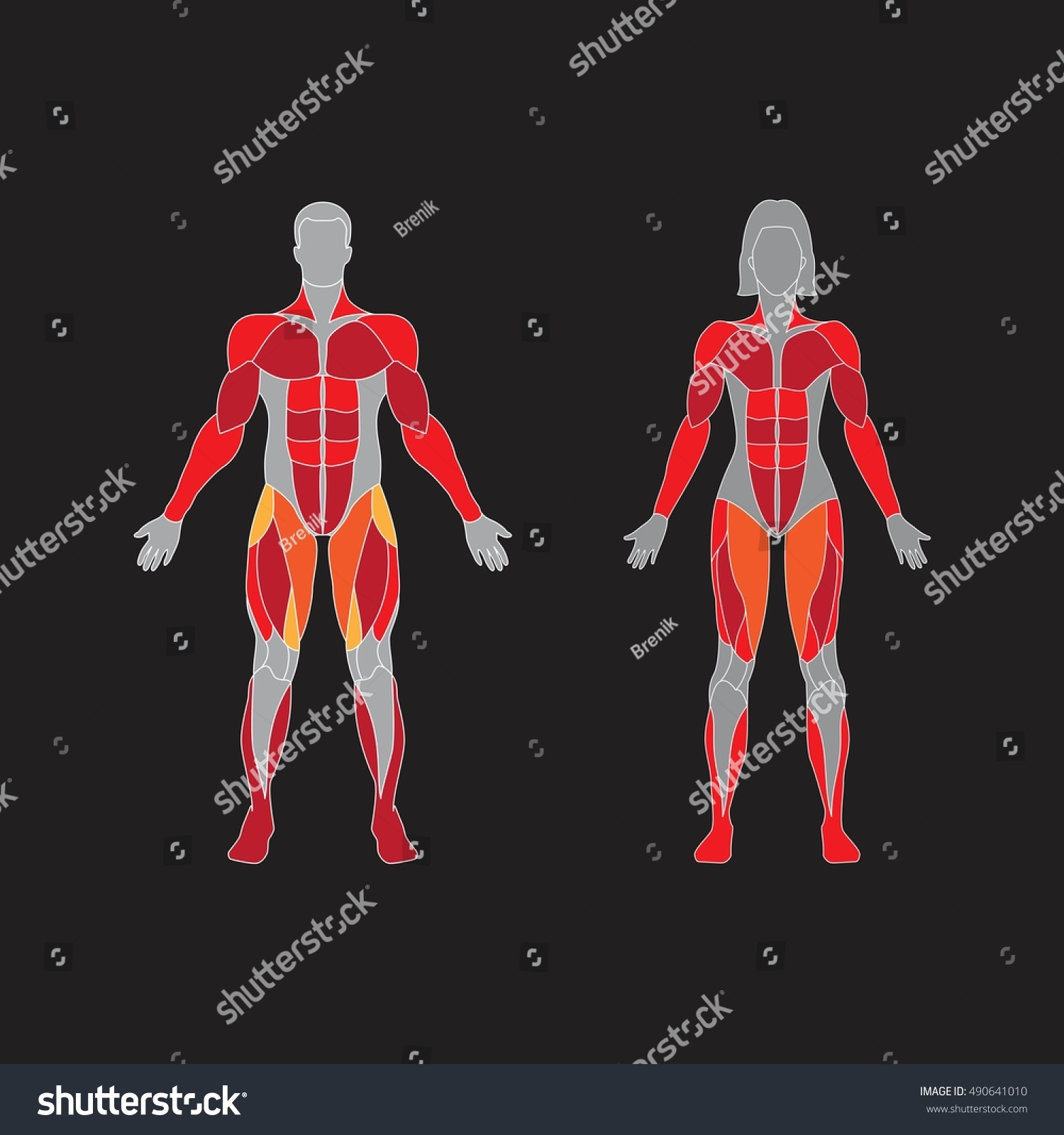 Muscular System On Black Background Human Stock Vector Royalty Free