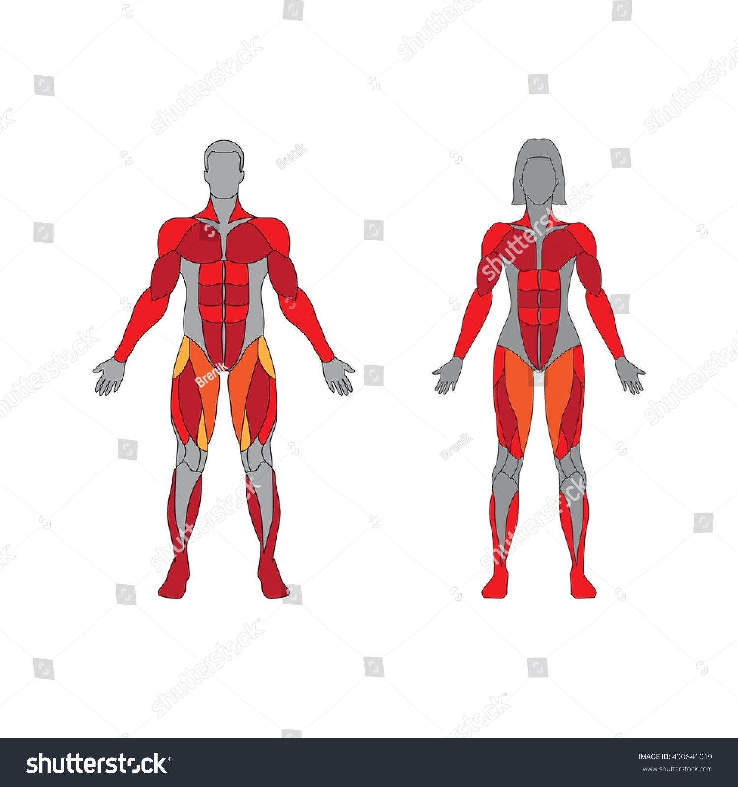 Muscular System On White Background Human Stock Vector Royalty Free