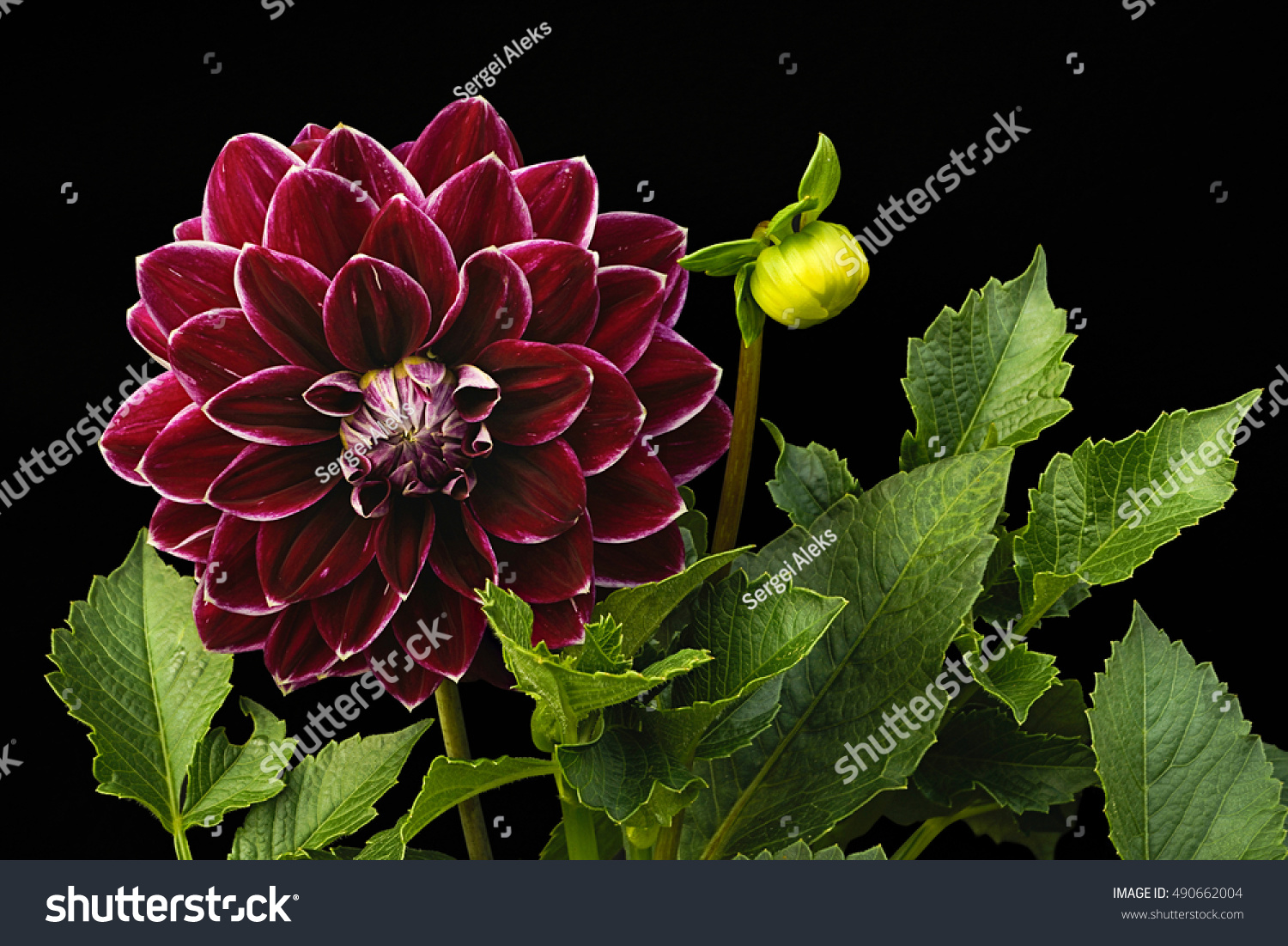 Dahlia Cherry Color Flowers On Black Stock Photo (Royalty Free ...