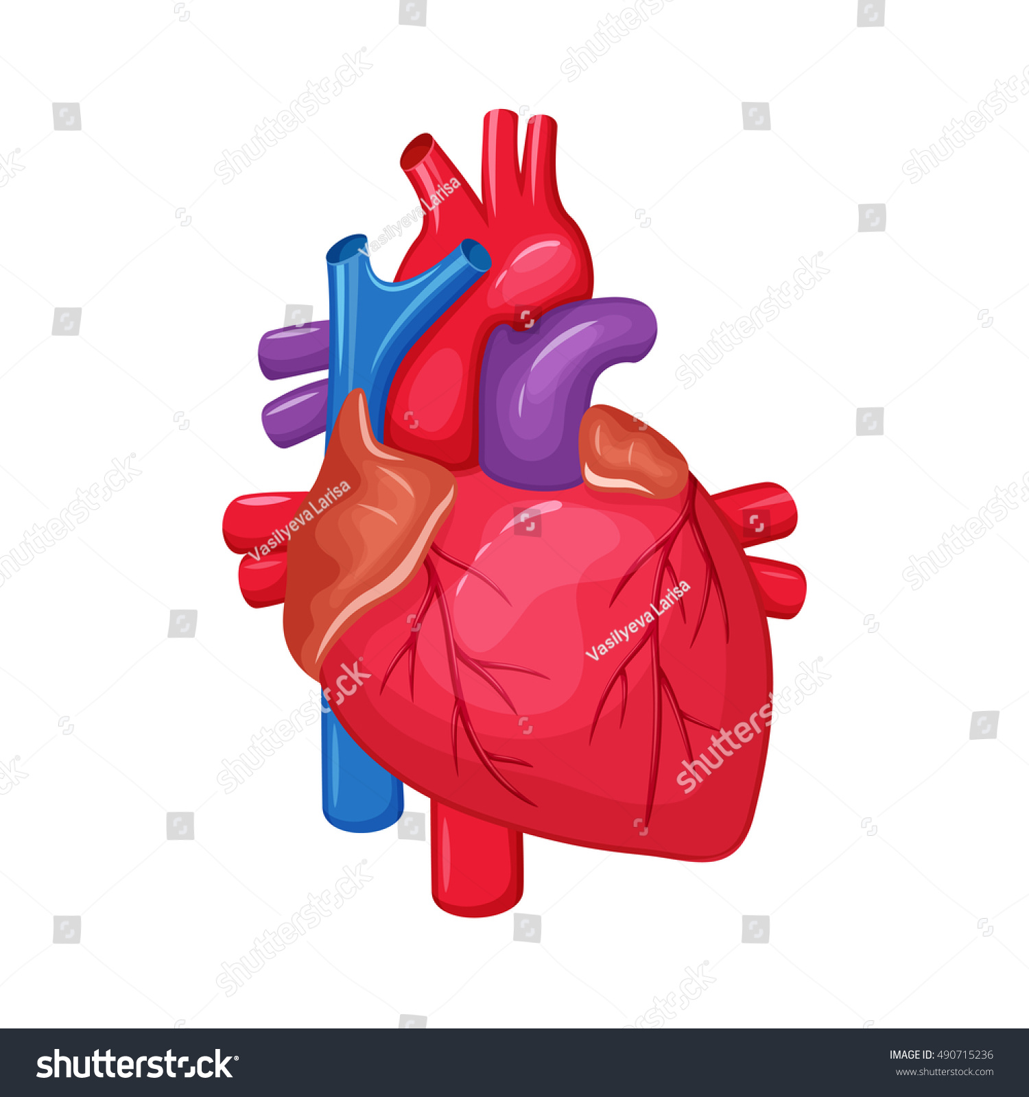 Human Heart Anatomy Medical Science Illustration Stock Illustration ...