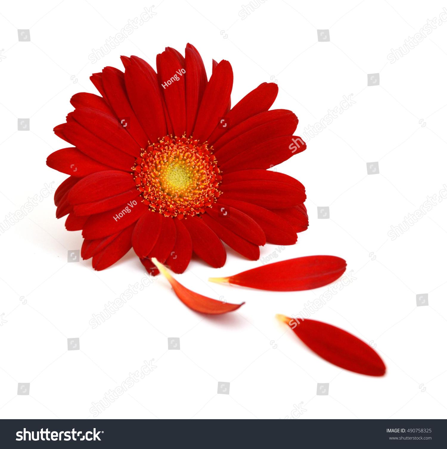 Red Daisy Flower Isolated On White Stock Photo Edit Now 490758325