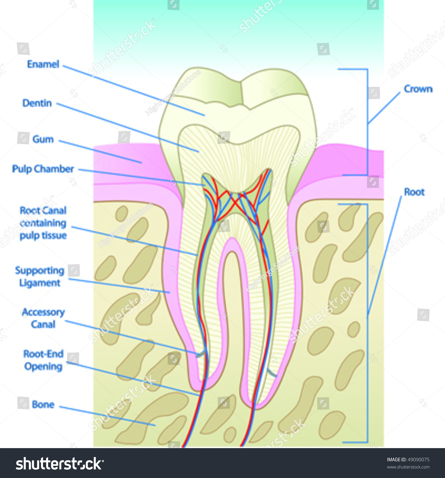 Vector Illustrated Tooth Diagram Cross Section With Labels