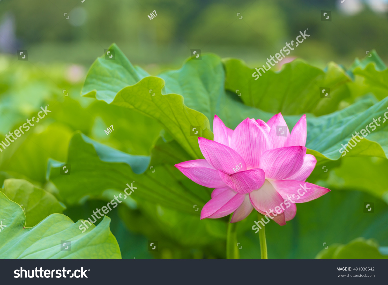 Lotus flower background lotus leaf tree stock photo edit now the lotus flowerckground is the lotus leaf and tree izmirmasajfo
