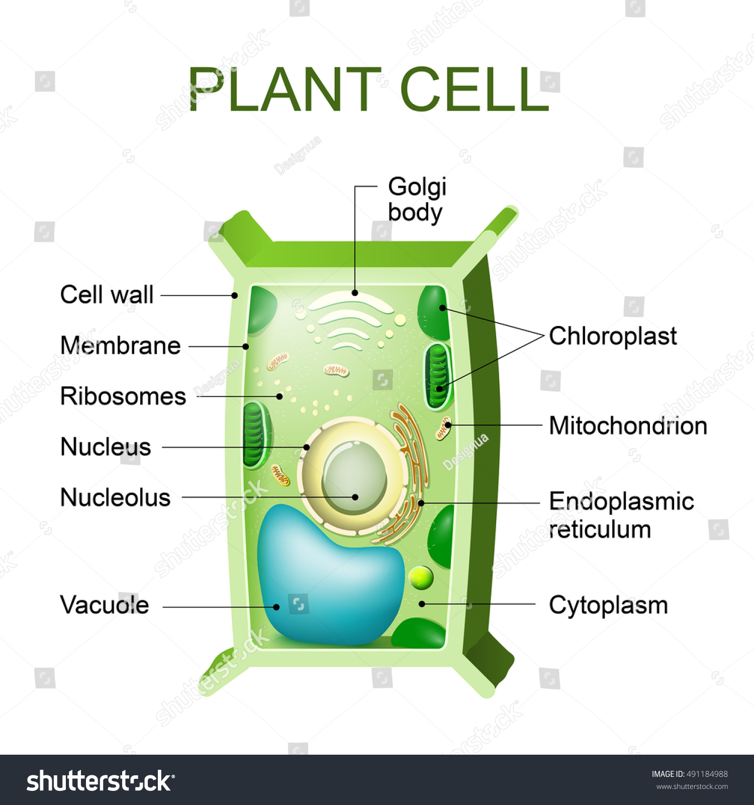 Anatomy of plant cell