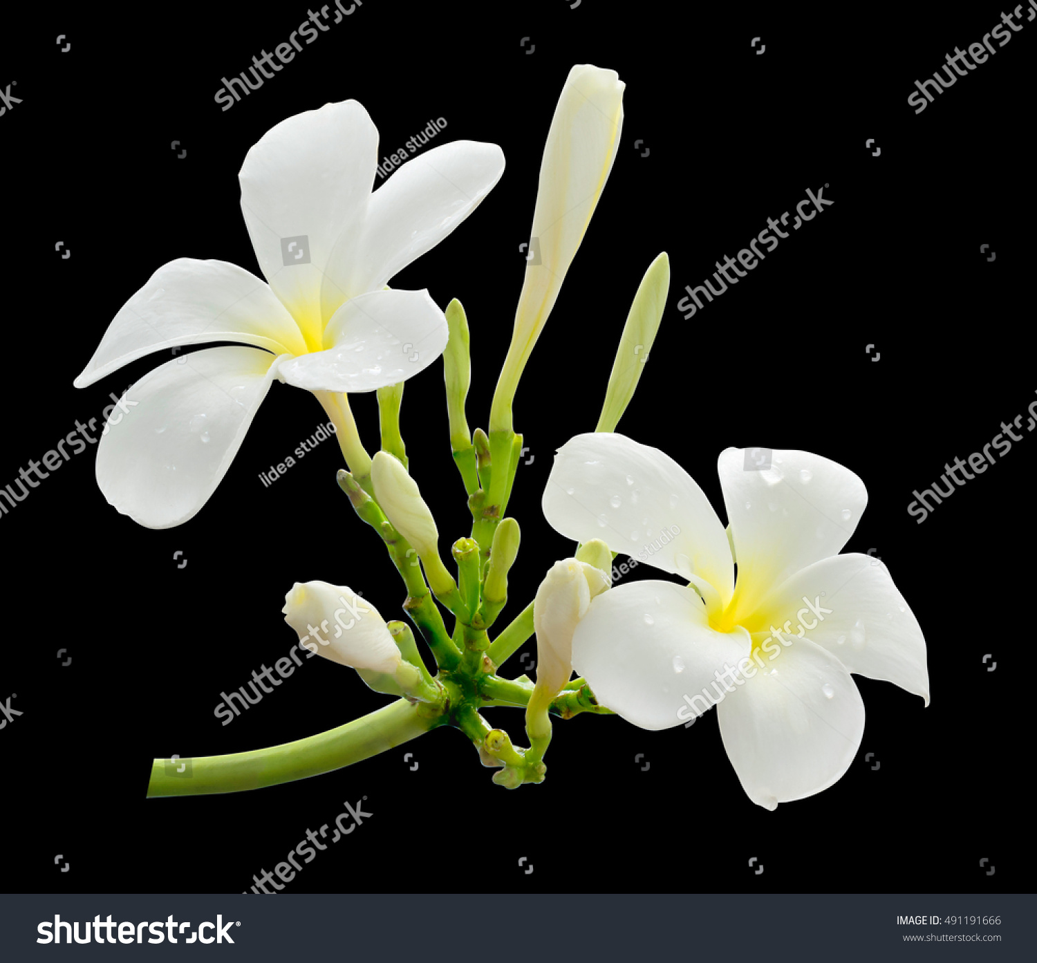 White Flower Frangipani Plumeria Flower Hawaii Stock Photo Edit Now