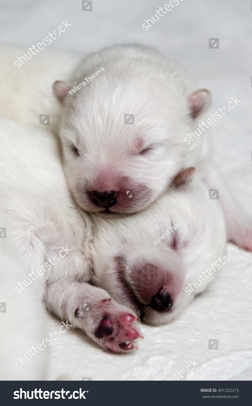 Newborn Puppies Samoyed Stock Photo Edit Now 491222215