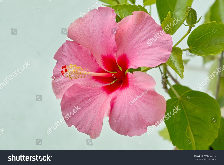 Pink Hibiscus Flower Blooming Tropical Hawaiian Stock Photo Royalty