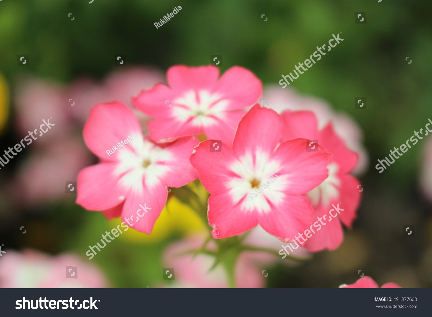Pink White Drummonds Phlox Flowers Or Stock Photo Royalty Free
