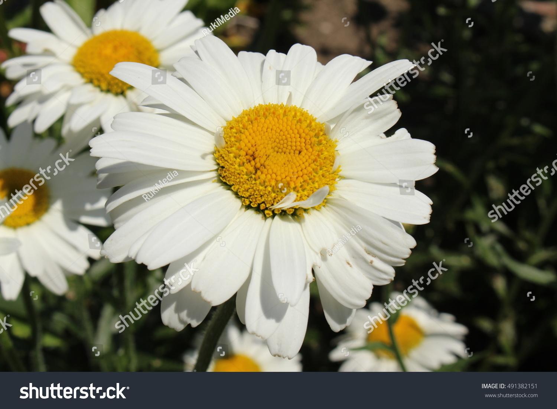 White Yellow Hybrid Shasta Daisy Flower Stock Photo Royalty Free