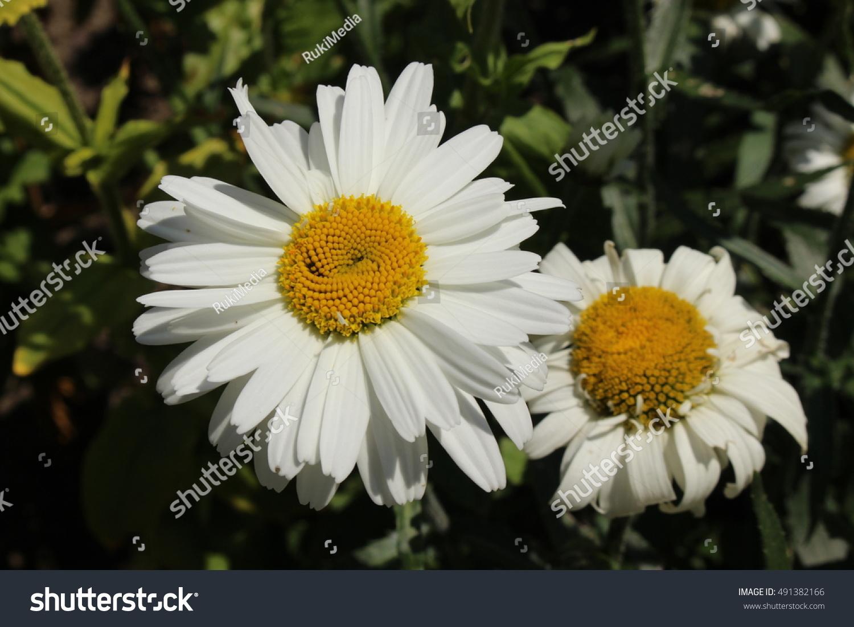 White Yellow Hybrid Shasta Daisy Flower Stock Photo Edit Now