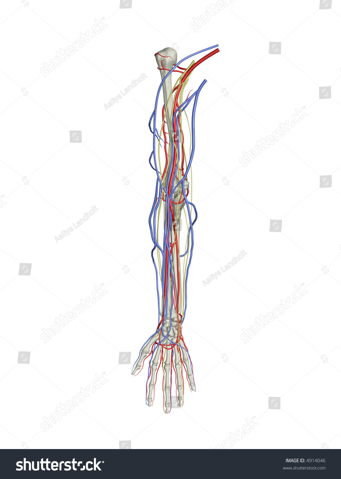 Arm Bones Arteries Veins Nerves Stock Illustration Royalty Free