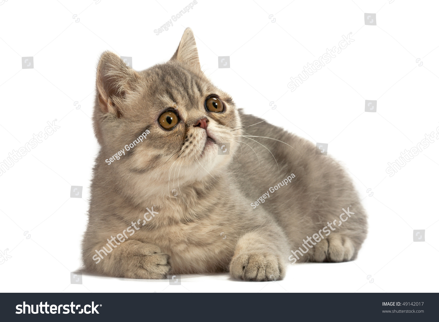 Where Can I Get A English Short Haired Blue Cat