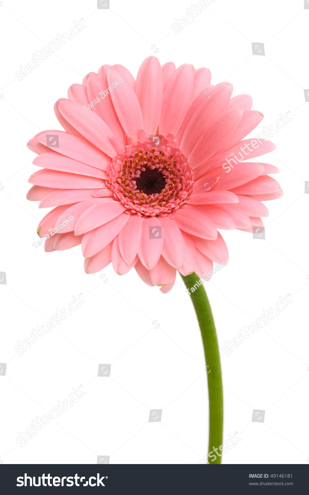 Pink Daisy Flower Stem Isolated On Stock Photo Edit Now 49146181