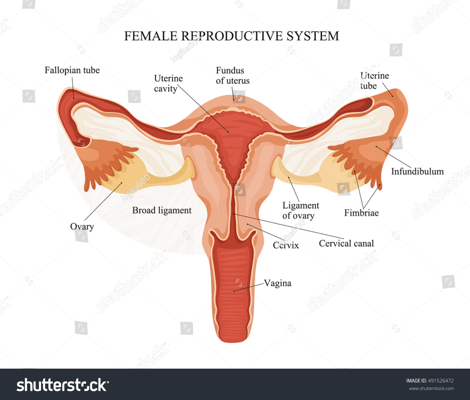 Illustration Female Reproductive System Human Anatomy Stock Vector