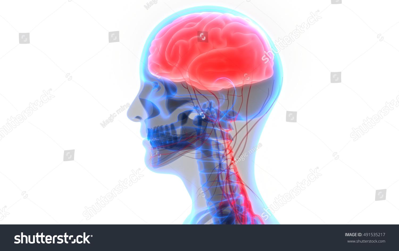 Human Brain Nervous System Anatomy 3 D Stock Illustration 491535217 ...
