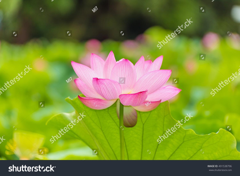 Lotus flower background lotus leaf lotus flower stock photo edit the lotus flowerckground is the lotus leaf and lotus flower and lotus bud and izmirmasajfo