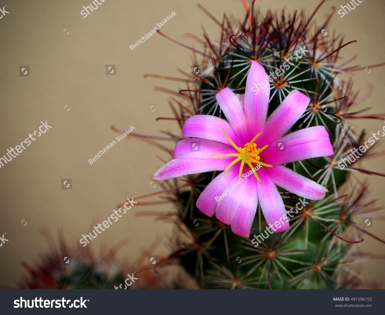 Beautiful Cactus Flower Stock Photo Edit Now 491596153 Shutterstock