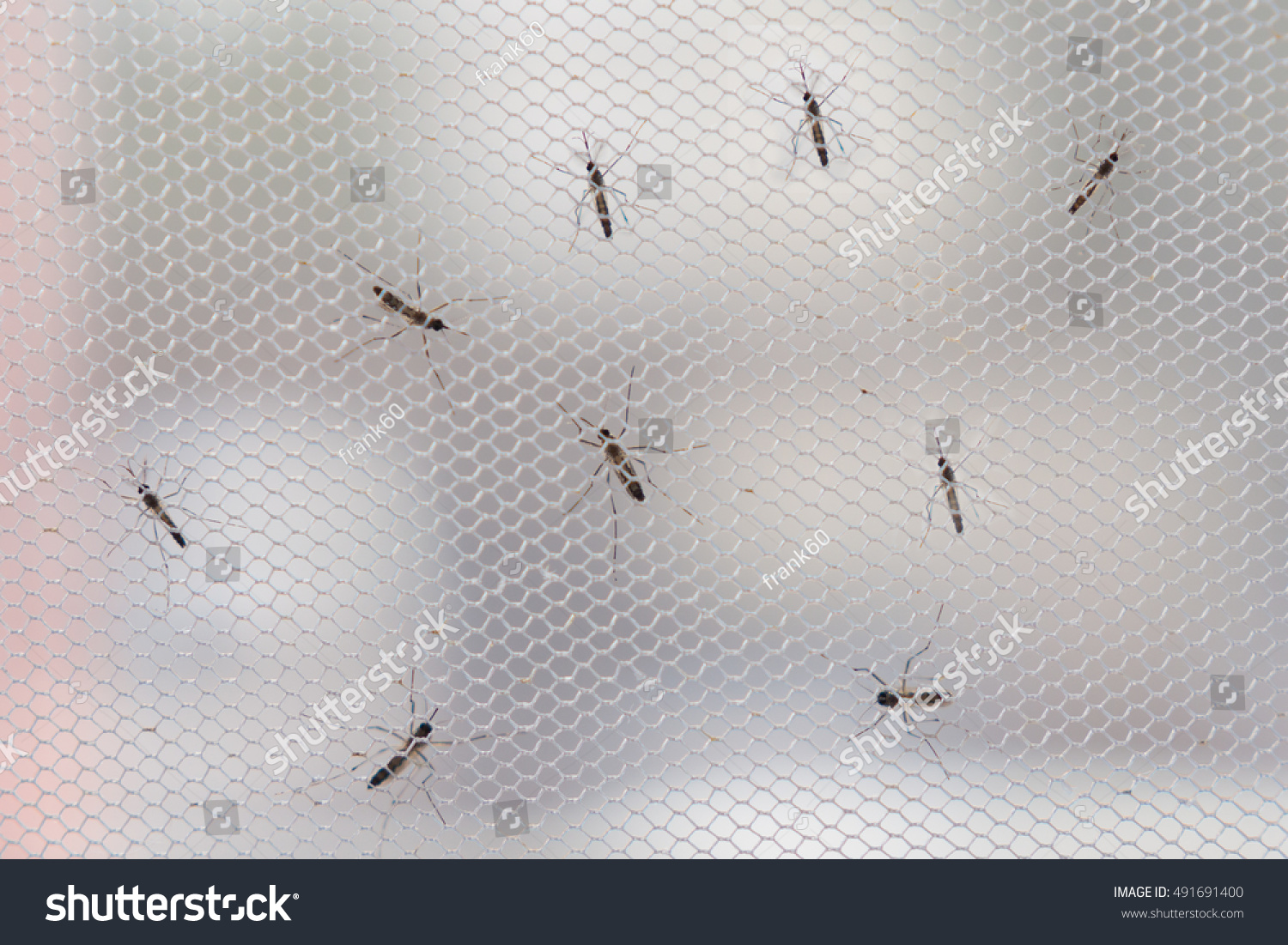 Aedes Aegypti Mosquito On White Mosquito Stock Photo (Royalty Free ...