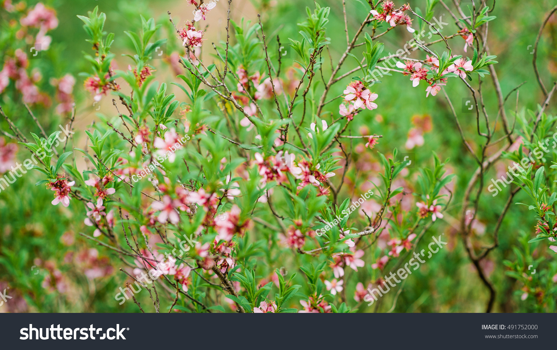 Pink Flowers Dwarf Russian Almond Bush Stock Photo Edit Now
