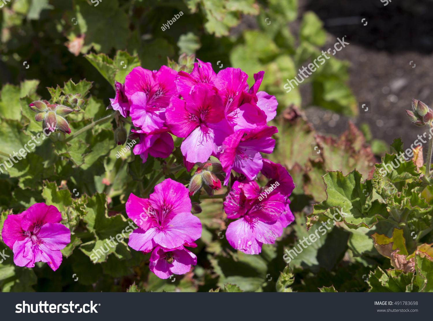 Double Candy And Cerise Pink Flowers Of A Decorative Pelargonium