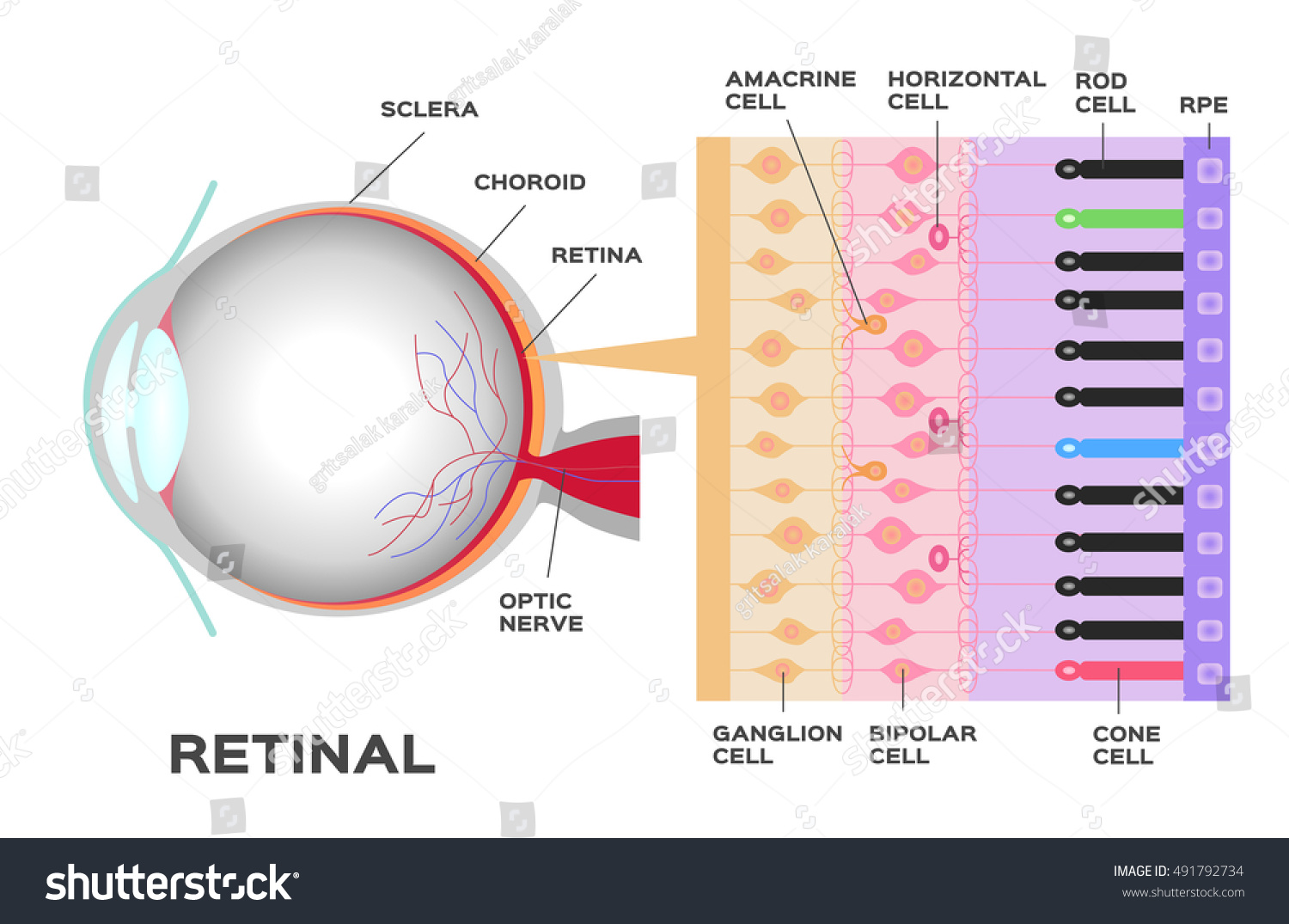 Infographic Photoreceptor Retina Eye Structure Function Stock Vector ...
