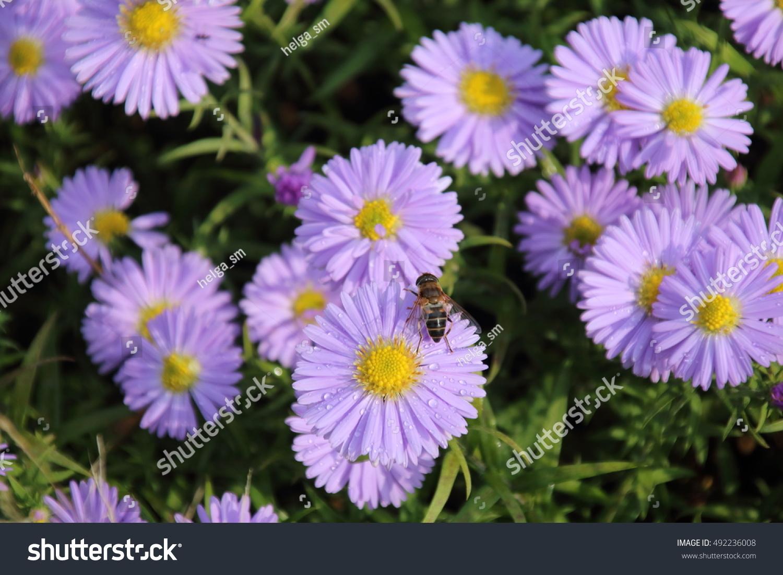 Beautiful Flower Blue Aster Autumn Garden Stock Photo Edit Now