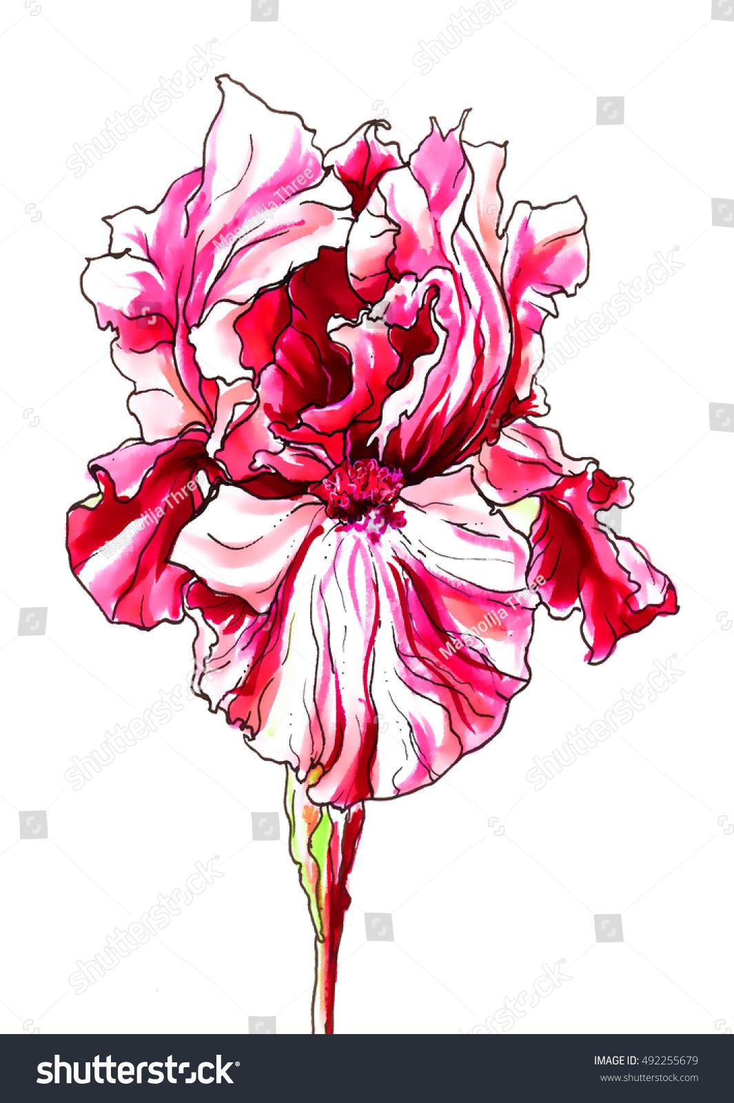 Red Pink Iris Flower Blossom Hand Stock Illustration 492255679