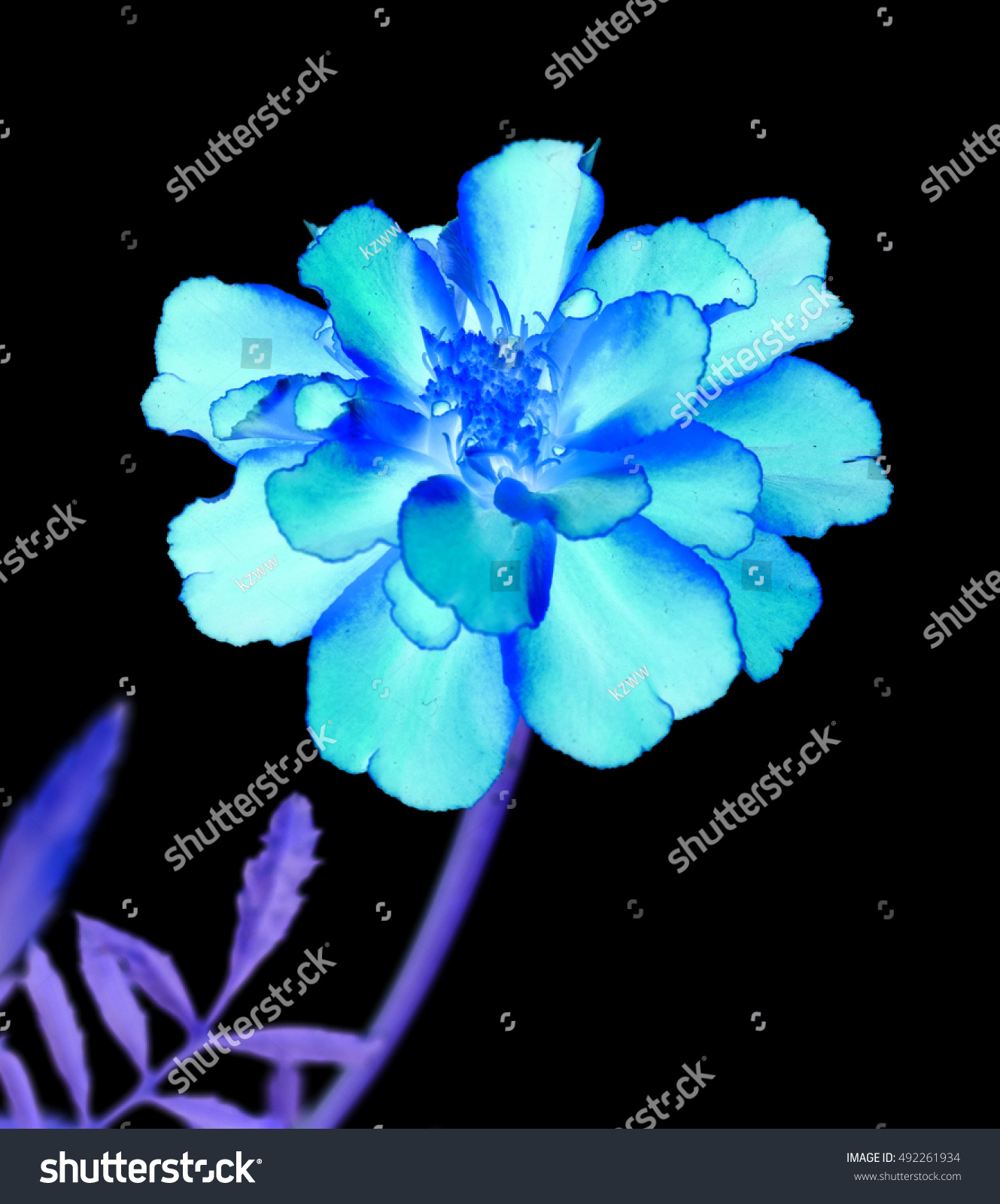 Royalty Free Surreal Exotic Blue Marigold Flower 492261934 Stock