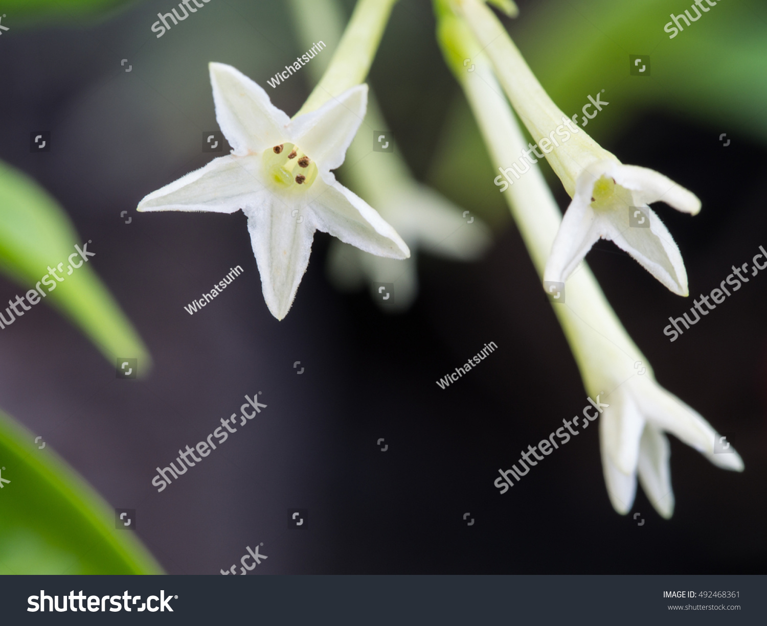 Fragrant Night Jasmine Flower Blooming Stock Photo Royalty Free
