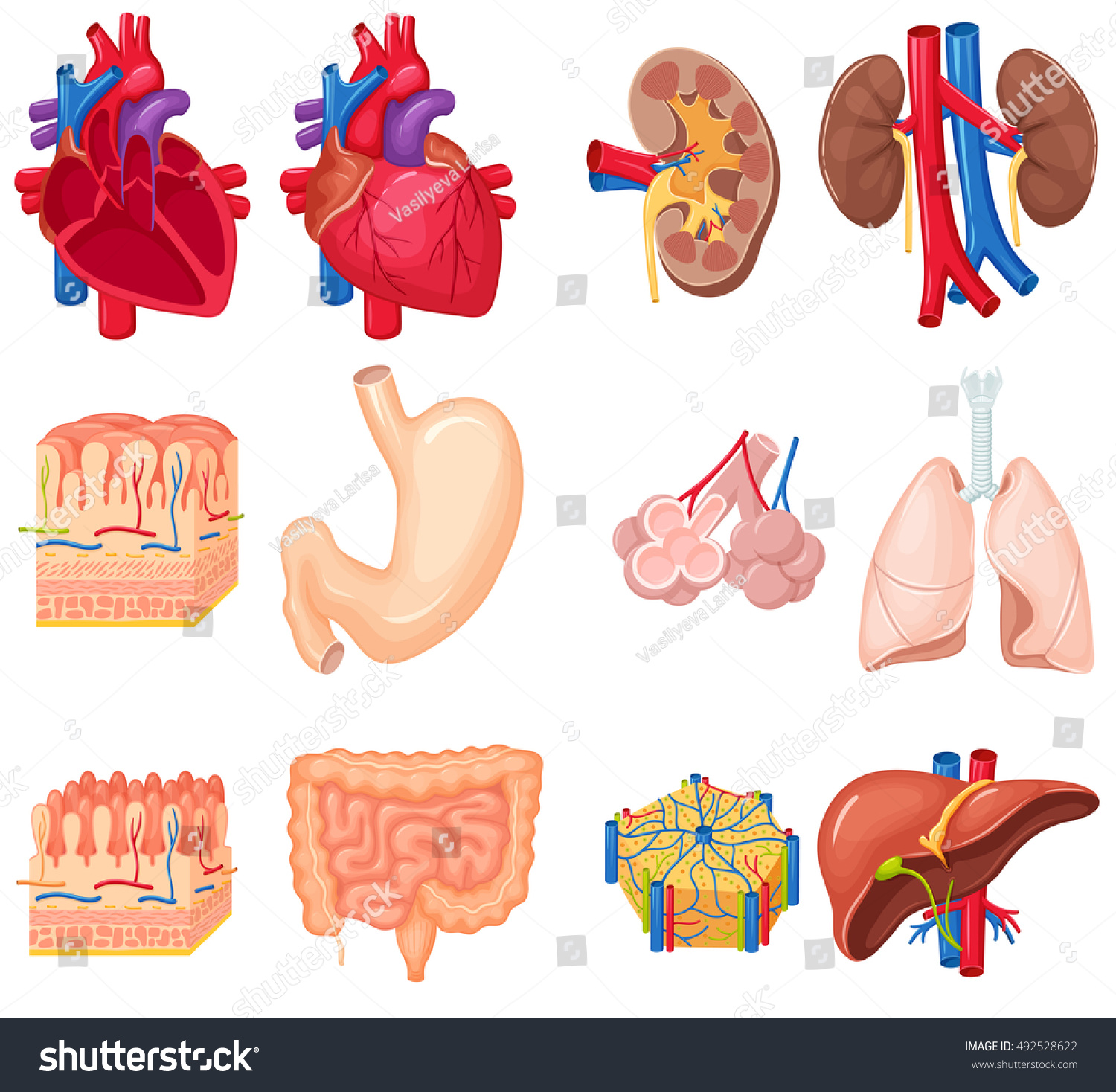 Human Organs Anatomy Heart Lungs Kidney Stock Vector (Royalty Free ...
