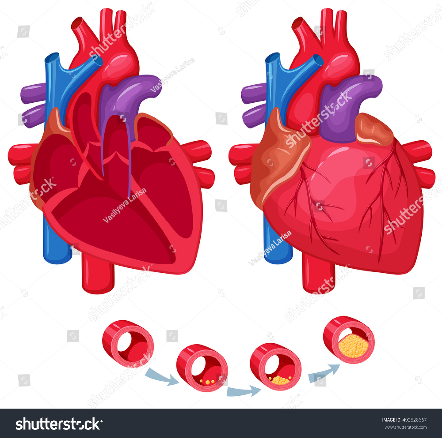 Human Heart Anatomy Medical Science Vector Stock Vector Hd Royalty