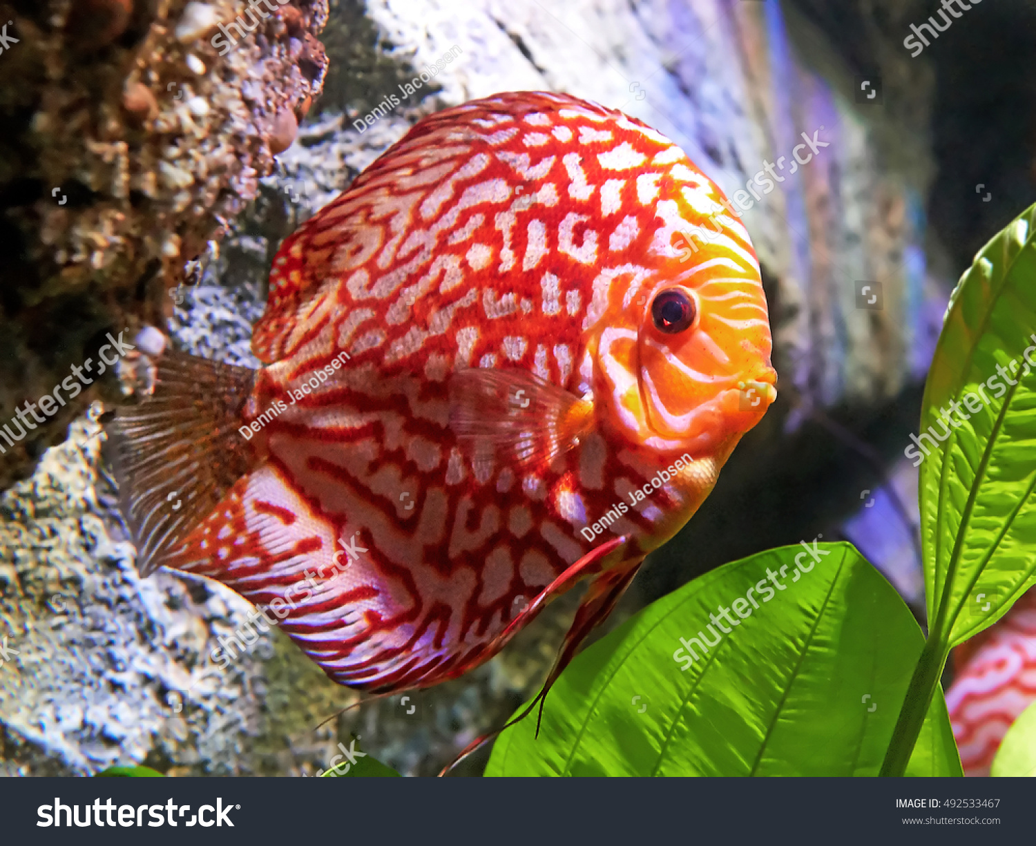 Red Pigeon Blood Discus Natural Habitat Stock Photo (Royalty Free ...